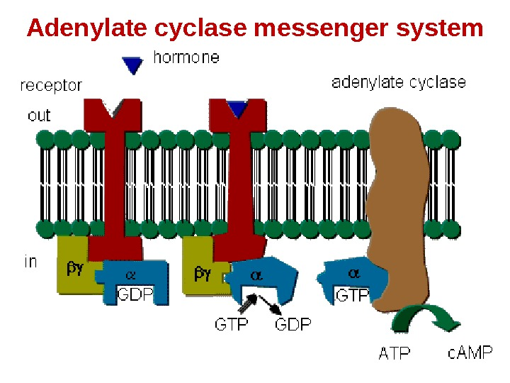 Adenylate cyclase messenger system