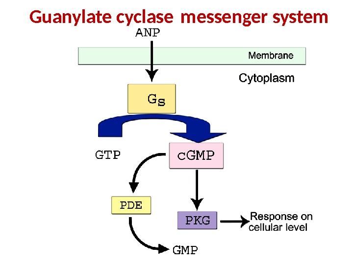 Guanylate cyclase messenger system