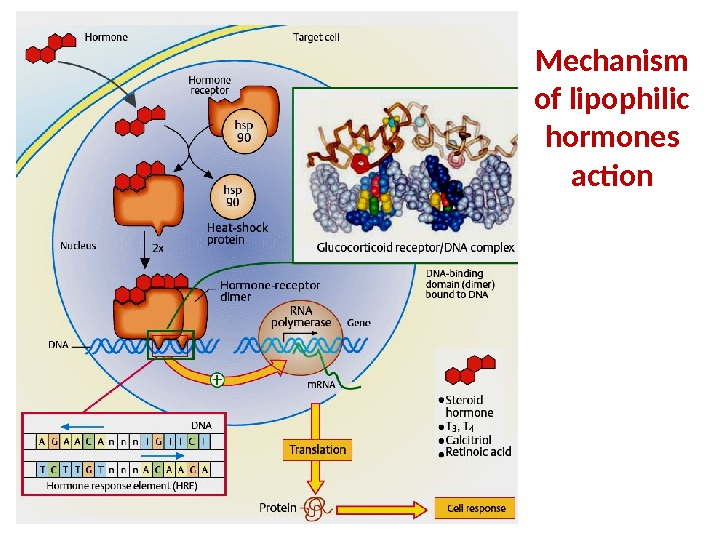 Mechanism of lipophilic hormones action