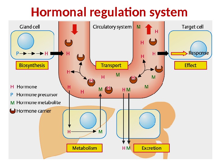 Hormonal regulation system