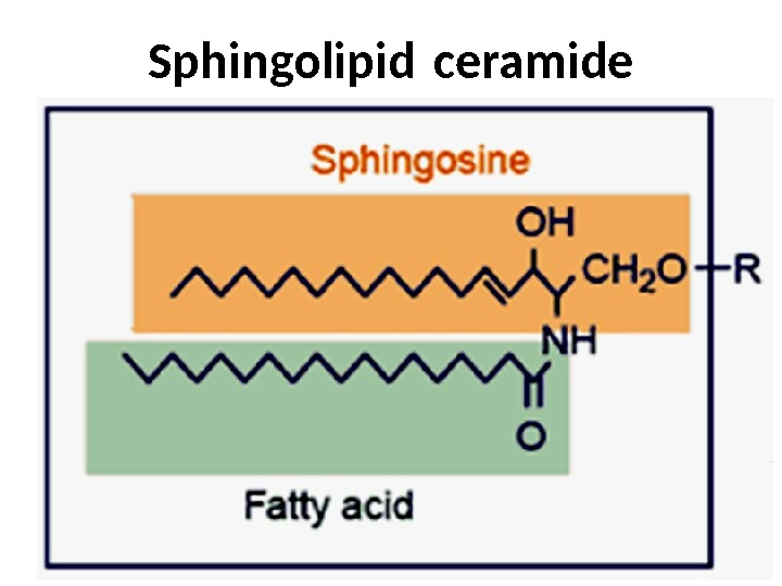 Sphingolipid ceramide