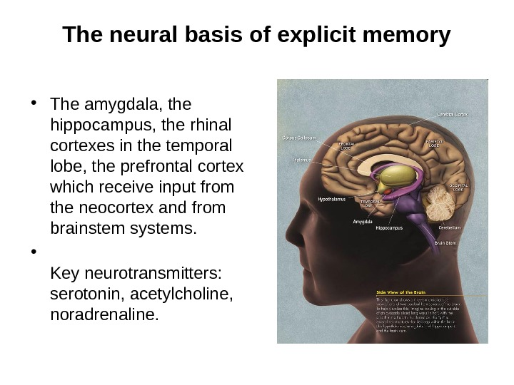 The neural basis of explicit memory • The amygdala, the hippocampus, the rhinal cortexes