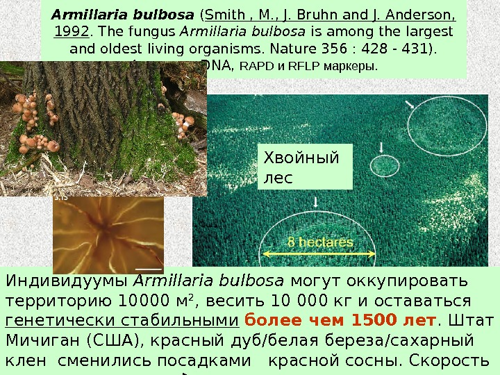 Armillaria bulbosa  ( Smith , M. , J. Bruhn and J. Anderson,