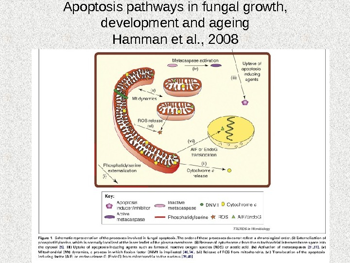 Apoptosis pathways in fungal growth, development and ageing Hamman et al. , 2008