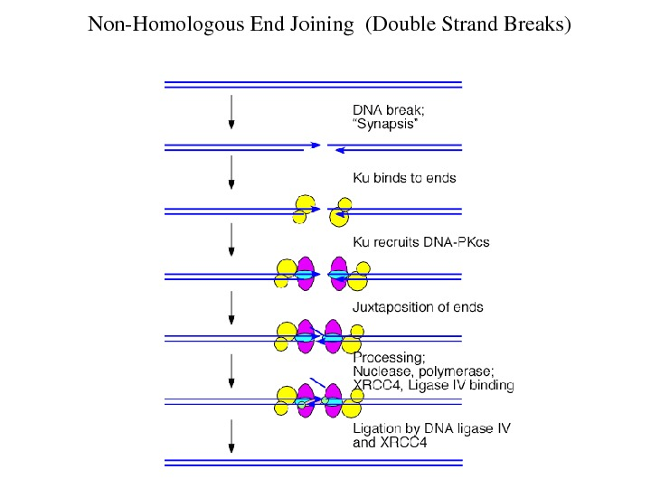 Non. Homologous. End. Joining(Double. Strand. Breaks)