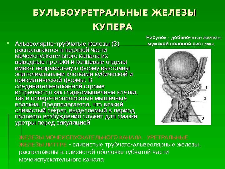 Железы Бульбоуретральные