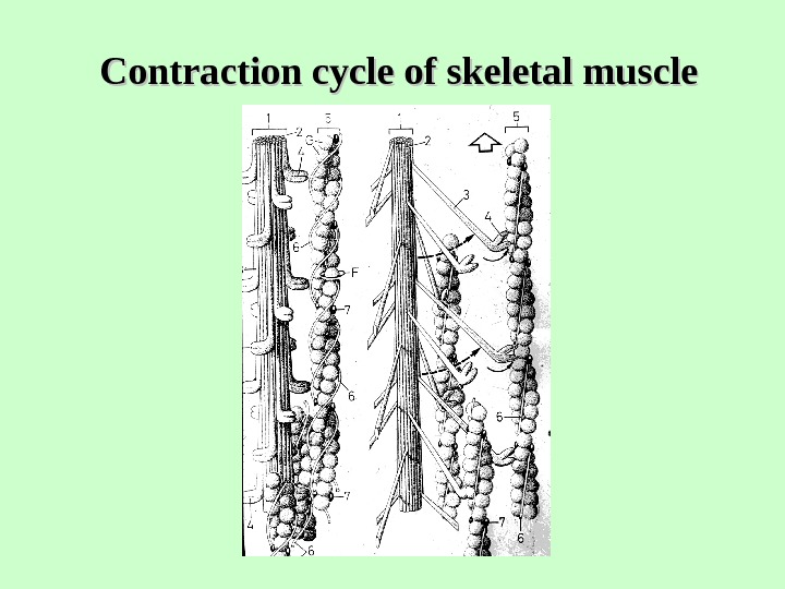 Contraction cycle of skeletal muscle