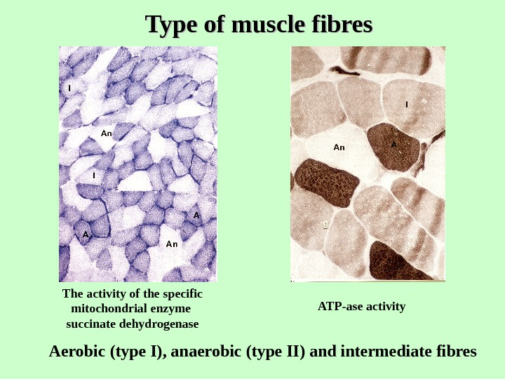 Type of muscle fibres Aerobic (type I), anaerobic (type II) and intermediate fibres The