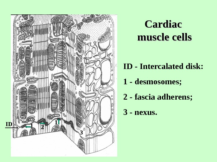 Cardiac muscle cells 3311 22 IDID 11 ID - Intercalated disk: 1 - desmosomes;