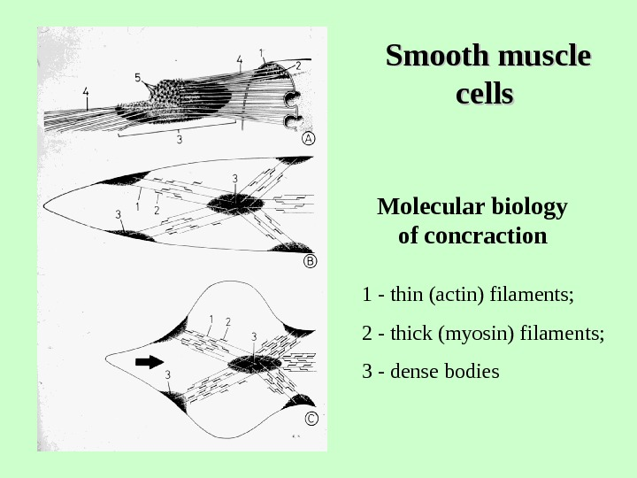 Smooth muscle cells  Molecular biology of concraction  1 - thin (actin) filaments;