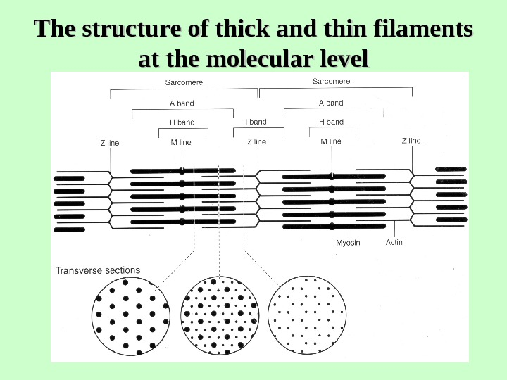 The structure of thick and thin filaments at the molecular level