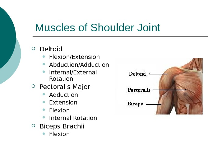 Muscles of Shoulder Joint Deltoid Flexion/Extension Abduction/Adduction Internal/External Rotation Pectoralis Major Adduction Extension Flexion Internal Rotation