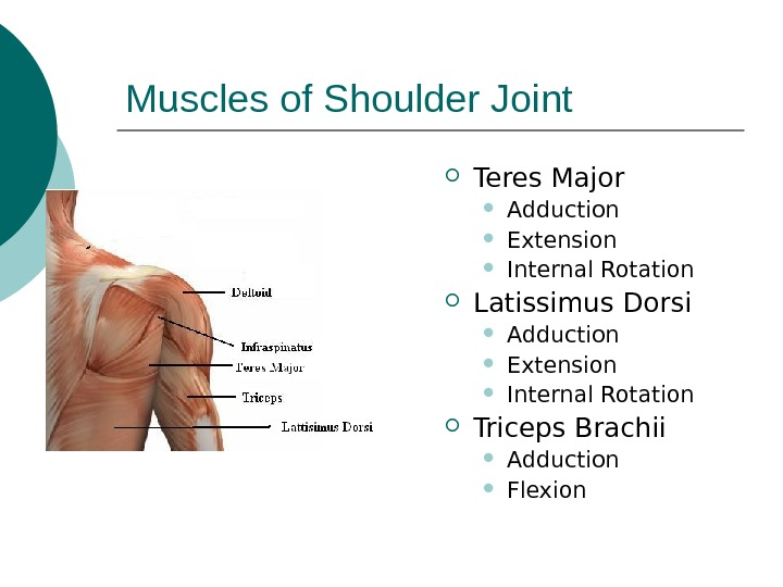 Muscles of Shoulder Joint Teres Major Adduction Extension Internal Rotation Latissimus Dorsi Adduction Extension Internal Rotation