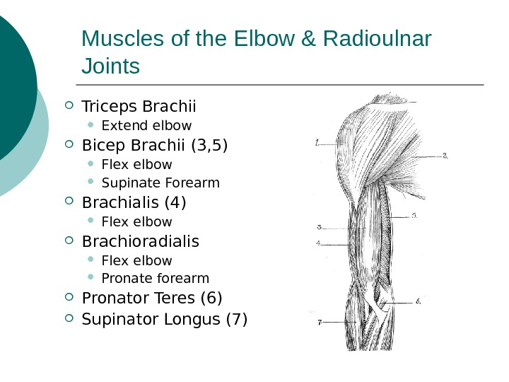 Muscles of the Elbow & Radioulnar Joints Triceps Brachii Extend elbow Bicep Brachii (3, 5) Flex