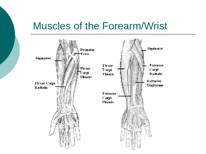 Muscles of the Forearm/Wrist