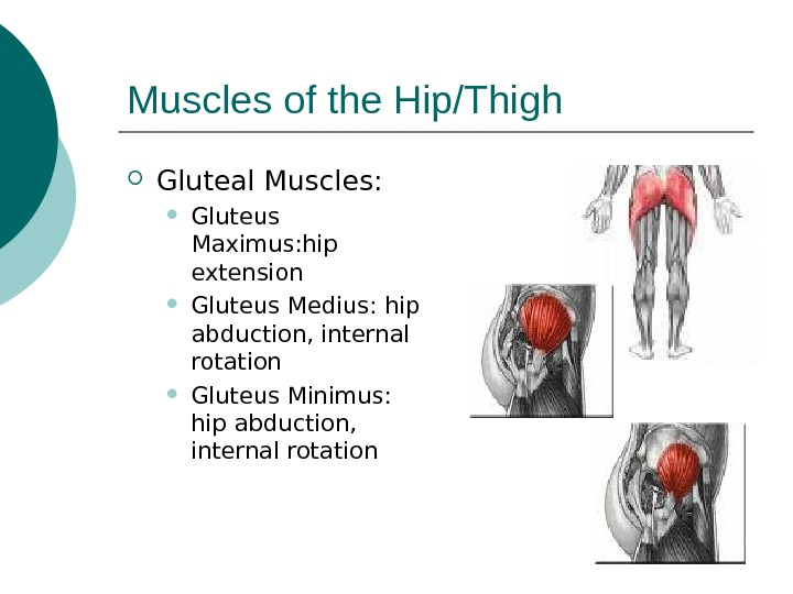Muscles of the Hip/Thigh Gluteal Muscles:  Gluteus Maximus: hip extension Gluteus Medius: hip abduction, internal