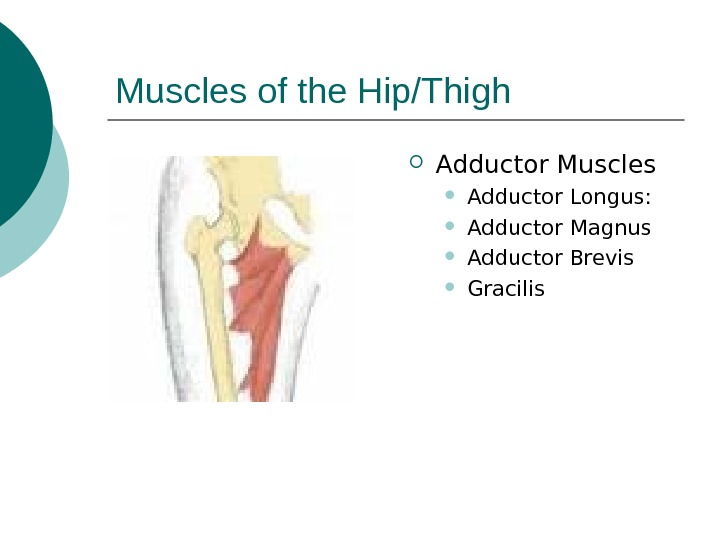Muscles of the Hip/Thigh Adductor Muscles Adductor Longus:  Adductor Magnus Adductor Brevis Gracilis