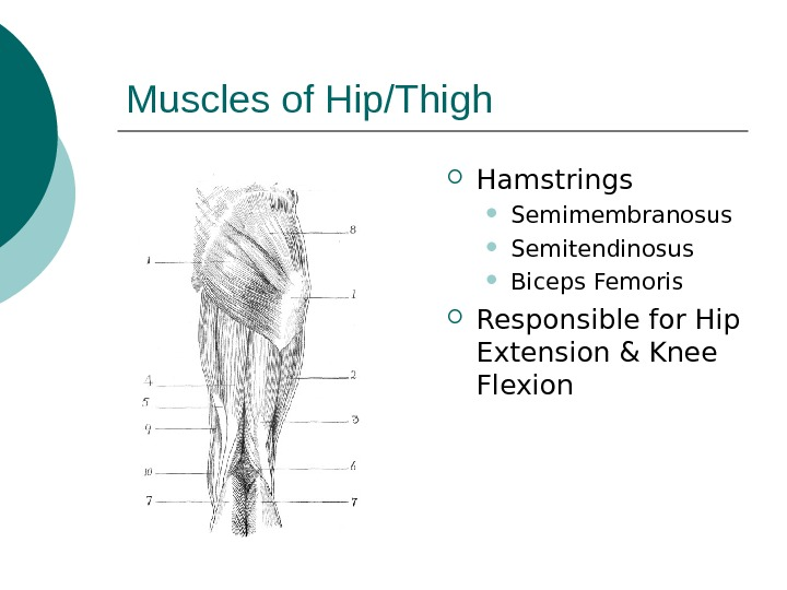 Muscles of Hip/Thigh Hamstrings Semimembranosus Semitendinosus Biceps Femoris Responsible for Hip Extension & Knee Flexion
