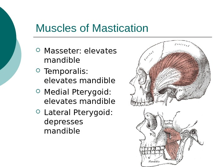 Muscles of Mastication Masseter: elevates mandible Temporalis:  elevates mandible Medial Pterygoid:  elevates mandible Lateral