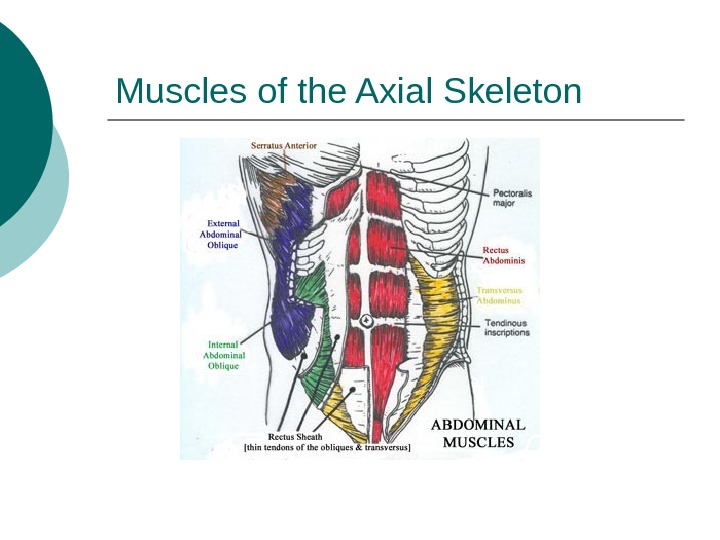 Muscles of the Axial Skeleton