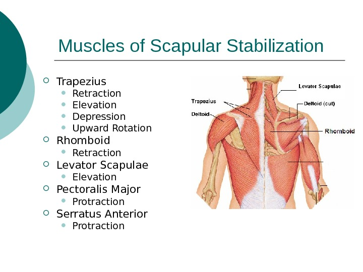 Muscles of Scapular Stabilization Trapezius Retraction Elevation Depression Upward Rotation Rhomboid Retraction Levator Scapulae Elevation Pectoralis