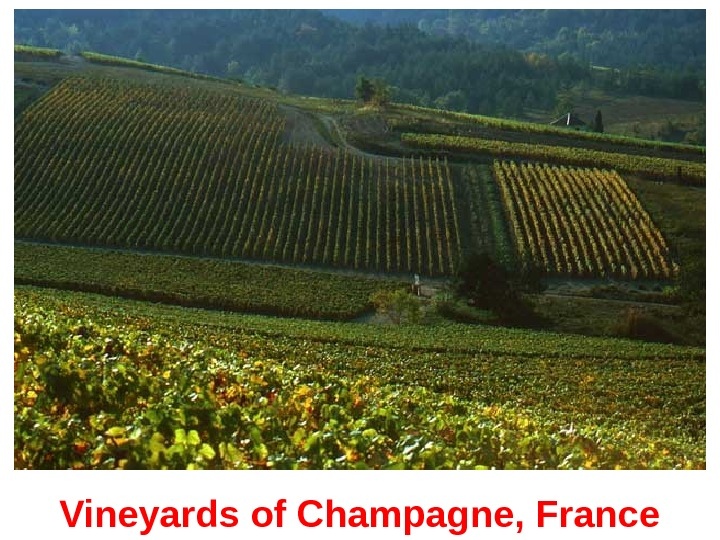 Vineyards of Champagne, France