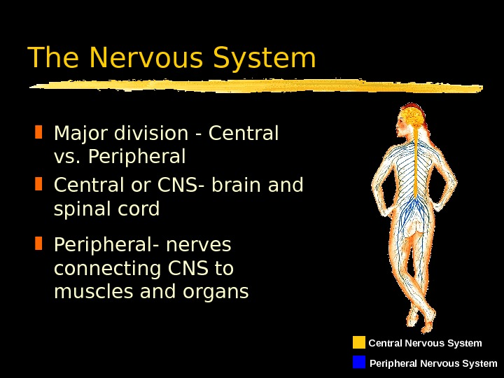 The Nervous System Major division - Central vs. Peripheral Central or CNS- brain and spinal cord