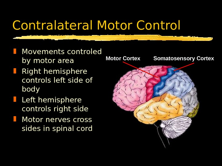 Contralateral Motor Control Movements controled by motor area Right hemisphere controls left side of body Left