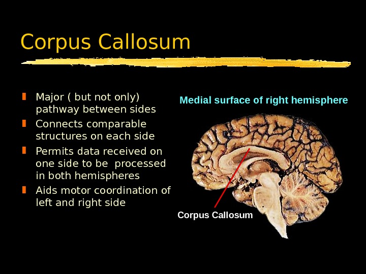 Corpus Callosum Major ( but not only) pathway between sides Connects comparable structures on each side