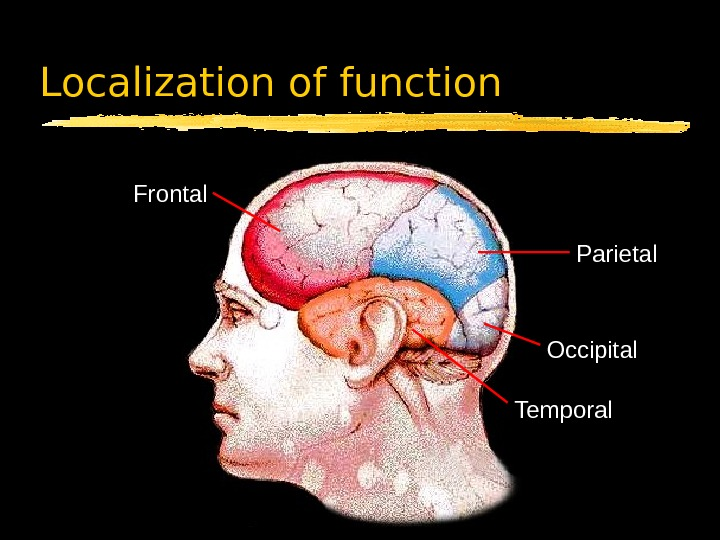 Localization of function Frontal Parietal Occipital Temporal