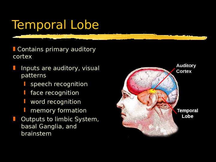 Temporal Lobe Inputs are auditory, visual patterns speech recognition face recognition word recognition memory formation Outputs