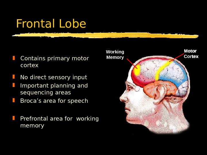 Frontal Lobe Contains primary motor cortex Motor Cortex. Broca's Area Motor Cortex. Working Memory No direct