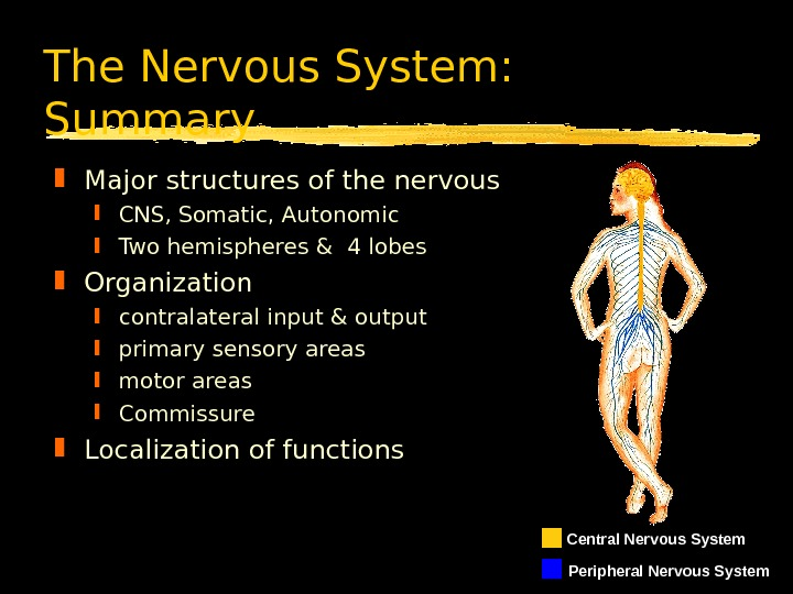 The Nervous System:  Summary Major structures of the nervous  CNS, Somatic, Autonomic Two hemispheres