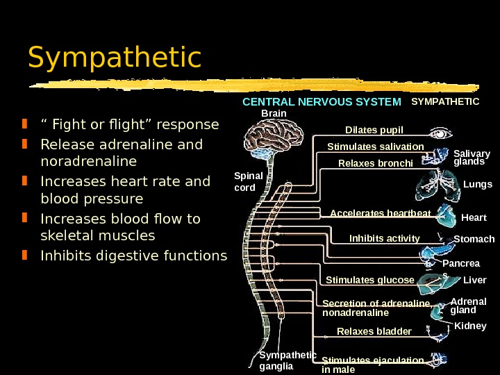 "Sympathetic "" Fight or flight"" response Release adrenaline and noradrenaline  Increases heart rate and blood"