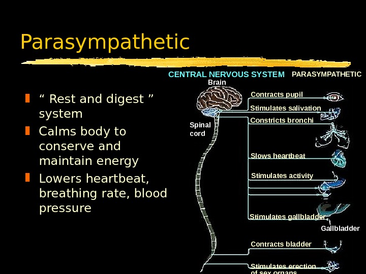 "Parasympathetic "" Rest and digest ""  system Calms body to conserve and maintain energy Lowers"