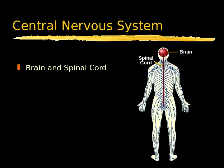 Central Nervous System Brain and Spinal Cord Brain