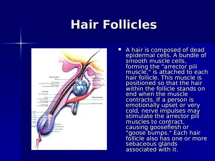 Hair Follicles A hair is composed of dead epidermal cells. A bundle of smooth
