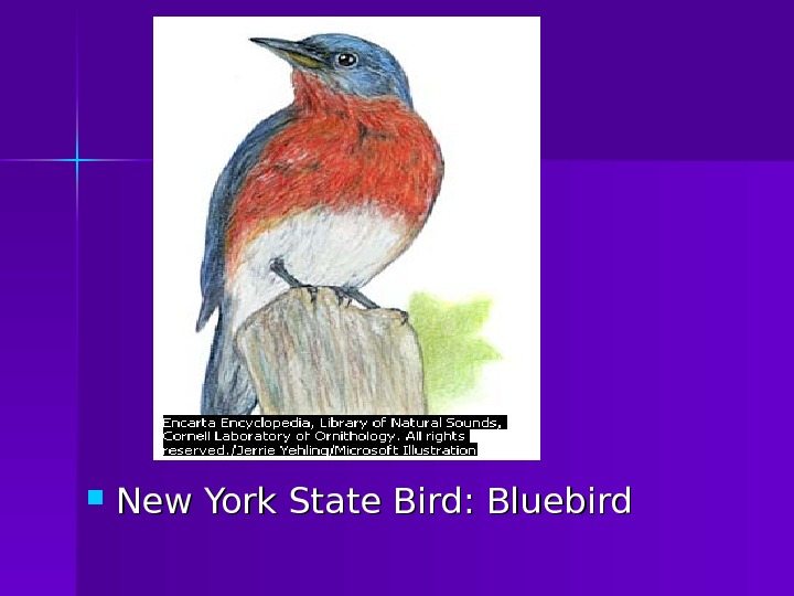 New York State Bird: Bluebird