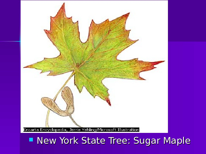 New York State Tree: Sugar Maple