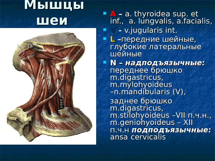 Мышцы шеи  AA – – a. thyroidea sup. et inf. ,  a. lungvalis, a.