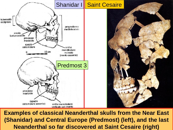 Examples of classical Neanderthal skulls from the Near East (Shanidar) and Central Europe (Predmost)