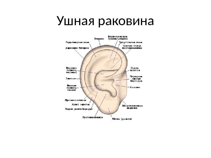 Ухо Наружное