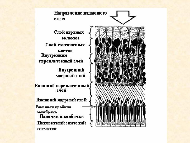 мембрана пограничная задняя