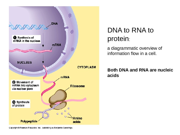 DNA to RNA to protein :  a diagrammatic overview of information flow in a cell.