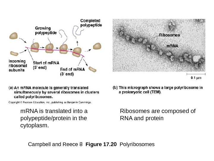 Campbell and Reece 8  Figure 17. 20  Polyribosomesm. RNA is translated into a polypeptide/protein
