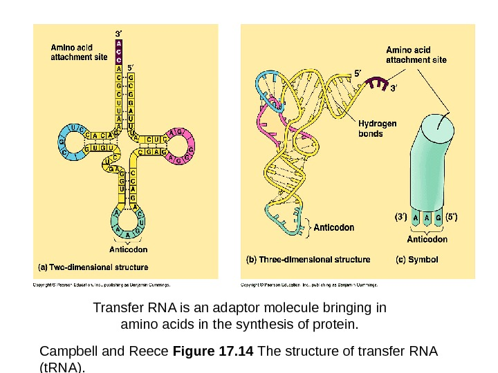 Campbell and Reece Figure 17. 14 The structure of transfer RNA (t. RNA). Transfer RNA is