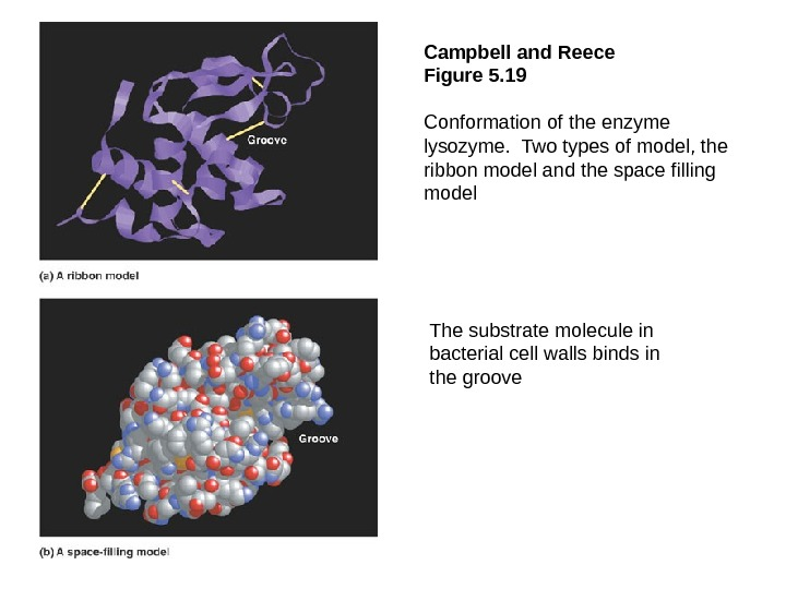Campbell and Reece Figure 5. 19  Conformation of the enzyme lysozyme.  Two types of