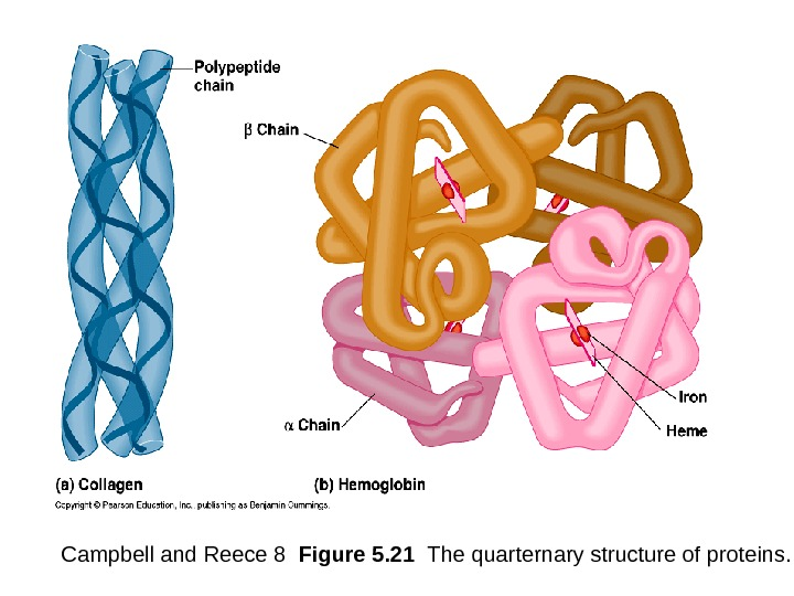 Campbell and Reece 8  Figure 5. 21  The quarternary structure of proteins.