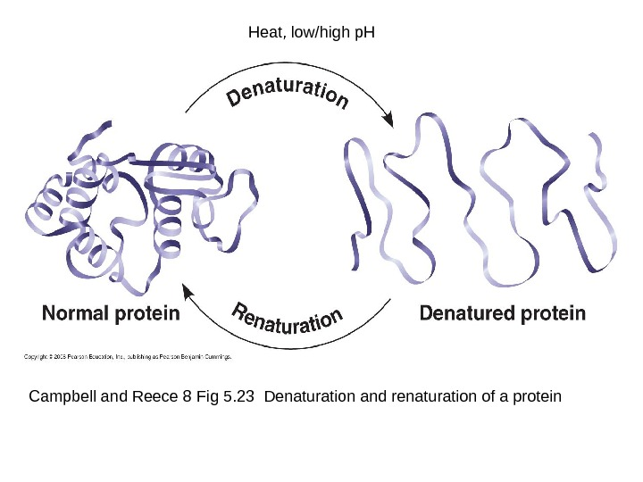 Campbell and Reece 8 Fig 5. 23 Denaturation and renaturation of a protein Heat, low/high p.