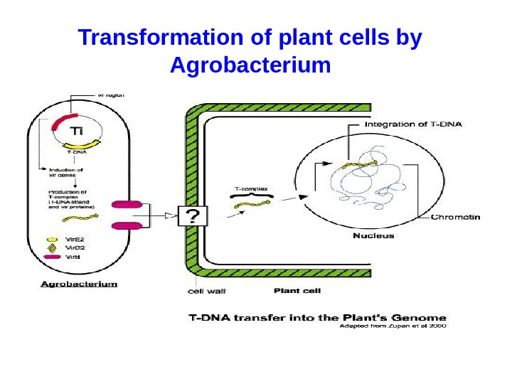 Transformation of plant cells by Agrobacterium